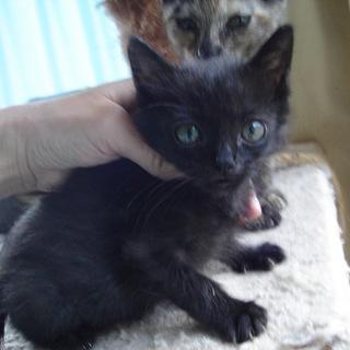 動画あり元気な赤ちゃん黒猫かげきくん  離乳中