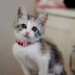 美猫のパステル三毛ちゃん