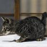 人なつっこいキジトラ2ヶ月弱の子猫 サムネイル2