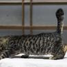 人なつっこいキジトラ2ヶ月弱の子猫 サムネイル3
