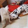 生後2か月のダルメシアンの仔犬(障害あり) サムネイル4