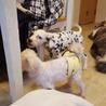 生後2か月のダルメシアンの仔犬(障害あり) サムネイル6