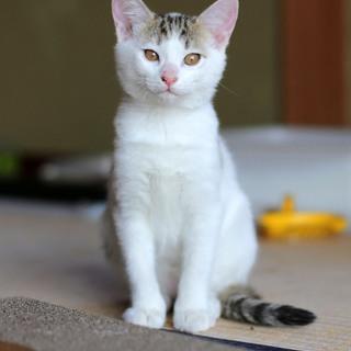 保護した野良の仔猫/キジシロ女の子3ヵ月