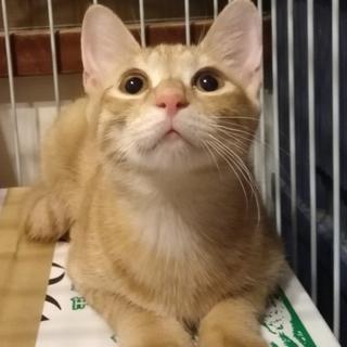 おっとり先住猫大好き★3.5ヶ月茶トラ男の子