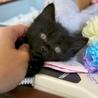 長毛洋猫MIX、約一ヶ月半、黒猫ショックくん