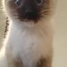 シャム猫のような柄の子猫です!