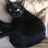 黒猫ツヤツヤ♪お髭とお腹がチョコッと白い♂6ヶ月