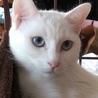 青い目・真っ白♪大きめグルゴロ音の♀♪6ヶ月