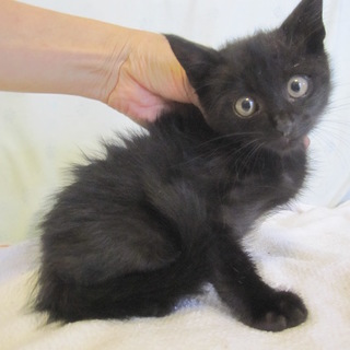 動画あり ごま塩黒猫どろんぱくん