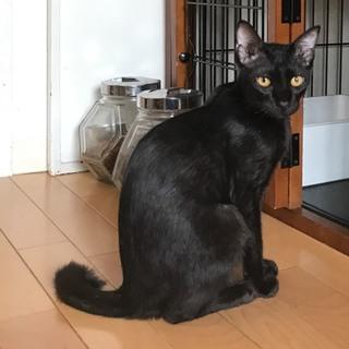 ◎性格良し!!甘えっ子ツヤツヤ黒猫君◎
