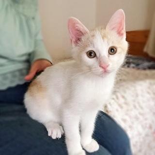 甘えっこの茶白男の子 先住猫さんOK