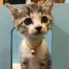 キジ白猫 きょうちゃん