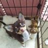チワワ仔犬(生後4か月・女の子)里親様の募集