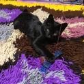 艶々黒猫・ヘーゼルくんの募集