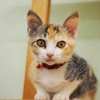 かわいい三毛猫【神無】