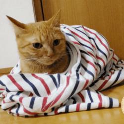 Tシャツで包まれたうちの茶トラ猫です