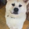 元気な秋田犬の女の子 陽那ちゃん サムネイル6