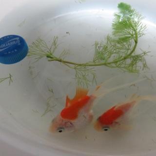 金魚の里親募集 いたします。