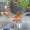 金魚の里親募集 いたします。 サムネイル3