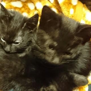 2ヵ月の男の子(黒猫:ボンベイ×ハバナブラウン)