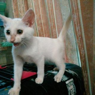 真っ白な仔猫です