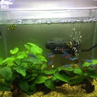 熱帯魚(淡水)生体と水槽30cm一式セット