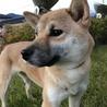 純血芝犬1歳の「きんとん」ちゃん