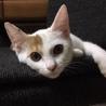 """募集停止中 美猫:白ミケ""""ミーちゃん""""5ヶ月"""