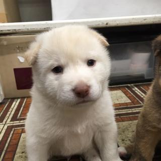 保健所から引き出し1ヶ月の可愛い子犬
