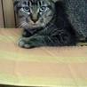 子猫(キジトラ、メス)の里親さま募集