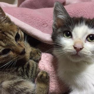 生後60日くらいの赤ちゃん猫♡女の子です^_^