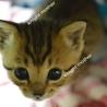 甘えん坊の仔猫。雌【里親決定】