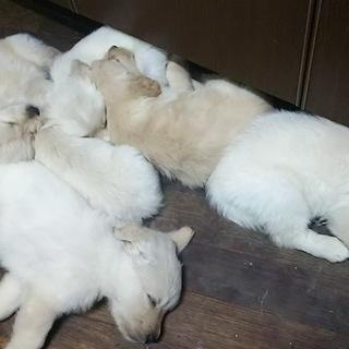ゴールデンmix子犬・応募多数の為一旦停止