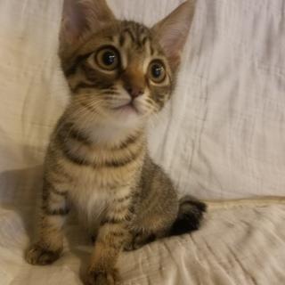 キジトラ子猫(2ヶ月齢)募集。人懐こいです。