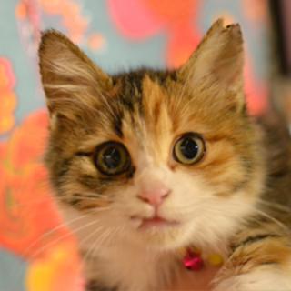 やや長毛の三毛猫風~ポンぽ子です