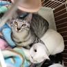 猫を初めて飼う方におススメの月齢です。サバトラくん