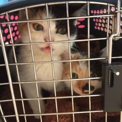 11月18日(土)に愛知県豊川市で猫の譲渡会!