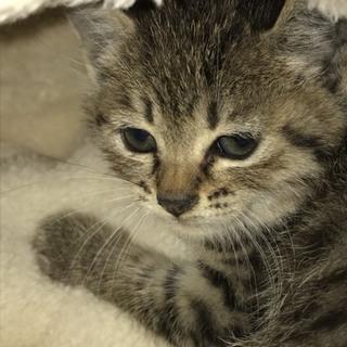 1ヶ月弱の可愛らしいキジトラの女の子