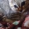 (生後二ヶ月)子猫の里親を募集しています