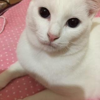 美しいブルーアイ白猫くん