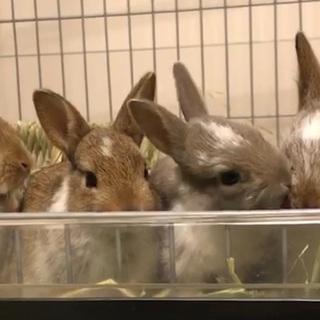 ミニウサギの赤ちゃん 5羽 9月25日生まれです