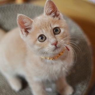 茶トラクリームの美猫【神楽】