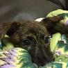 琉球犬MIX4か月姉妹パルナス