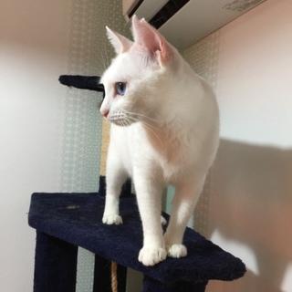チャーミングな青い瞳の白猫ちゃん
