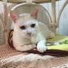 チャーミングな青い瞳の白猫ちゃん サムネイル2