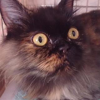 エキゾチックっぽいふわふわサビ猫ちゃん。