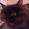 エキゾチックっぽいふわふわサビ猫ちゃん。 サムネイル2