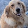 ゴールデン 5才7か月女の子 ~繁殖犬引退~ サムネイル2