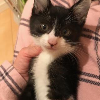 白黒仔猫 甘えん坊で活発な男の子 4ヶ月 ミツヒコ