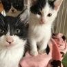白黒仔猫 甘えん坊で活発な男の子 4ヶ月 ミツヒコ サムネイル6